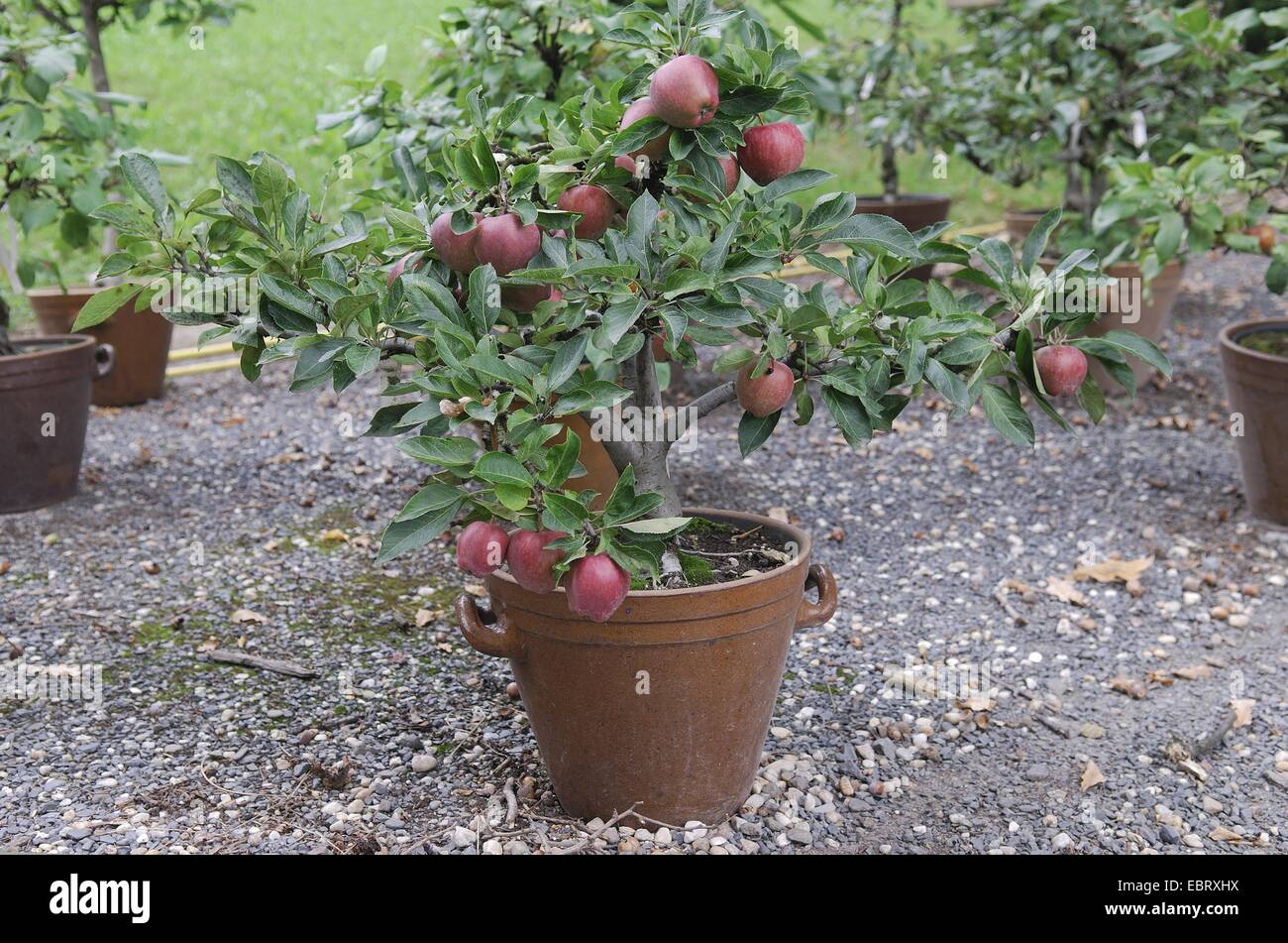 apple tree (Malus domestica 'Red Spur', Malus domestica Red Spur), cultivar Red Spur, apples on a tree - Stock Image