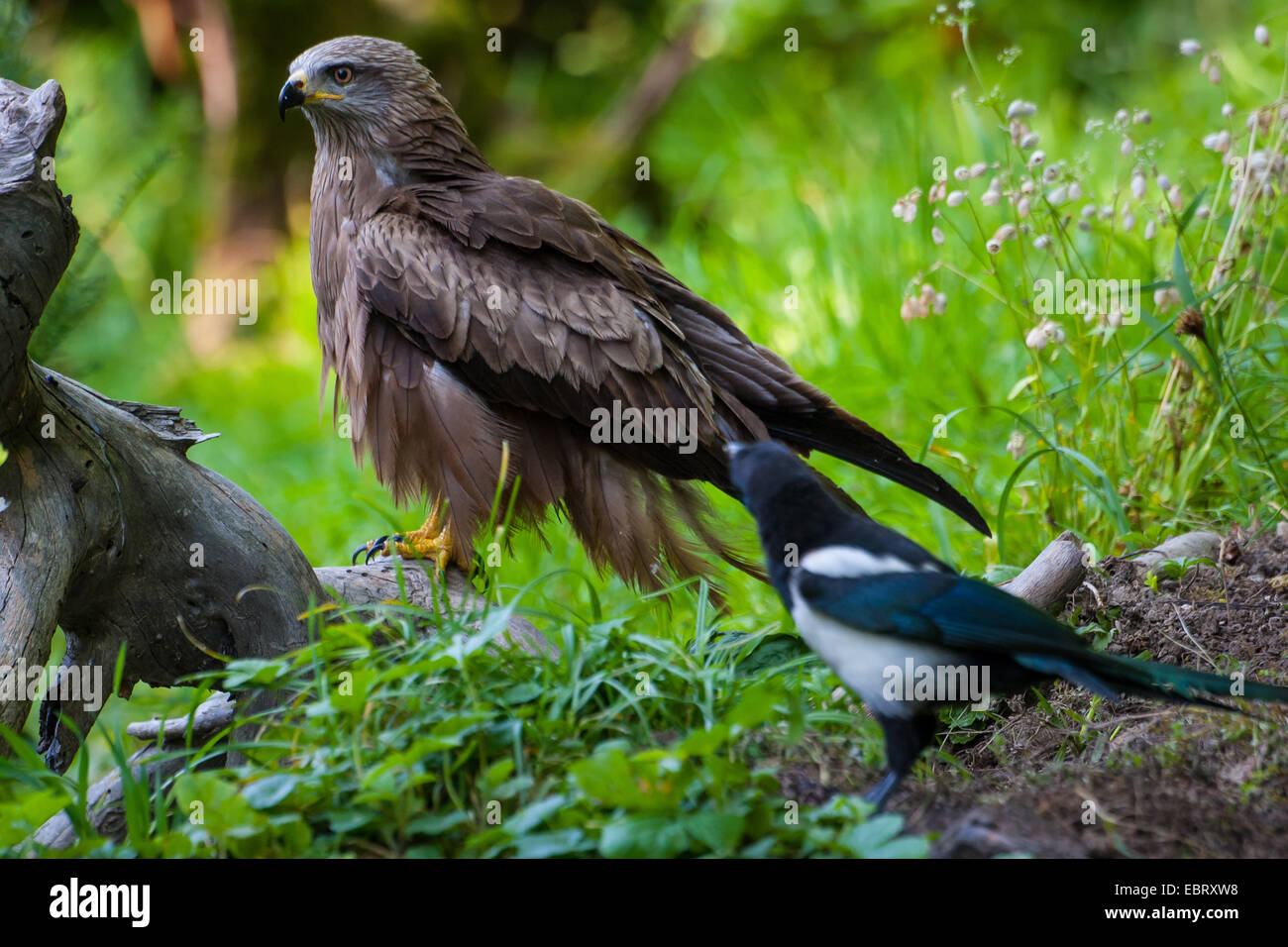 Black kite, Yellow-billed kite (Milvus migrans), sits on a root on the ground and is watched by a magpie, Switzerland, - Stock Image