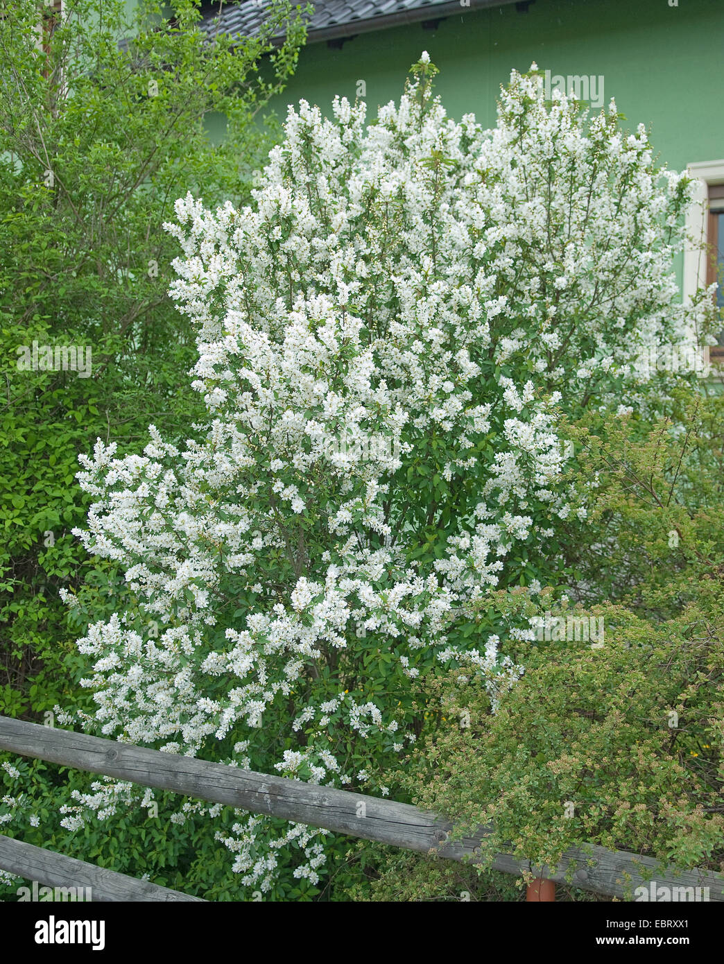 Common Pearl Bush (Exochorda racemosa), blooming - Stock Image