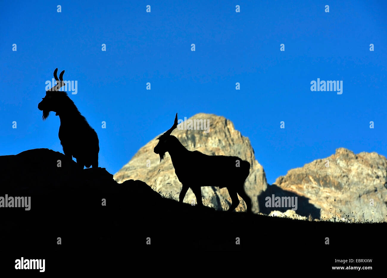 domestic goat (Capra hircus, Capra aegagrus f. hircus), two goats in the french Alps, silhouette, France, Savoie - Stock Image