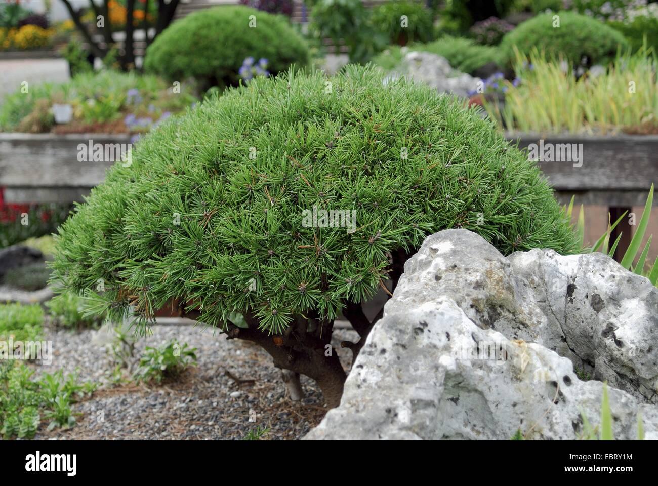 Mountain pine, Mugo pine (Pinus mugo 'Mops', Pinus mugo Mops), cultivar Mops - Stock Image