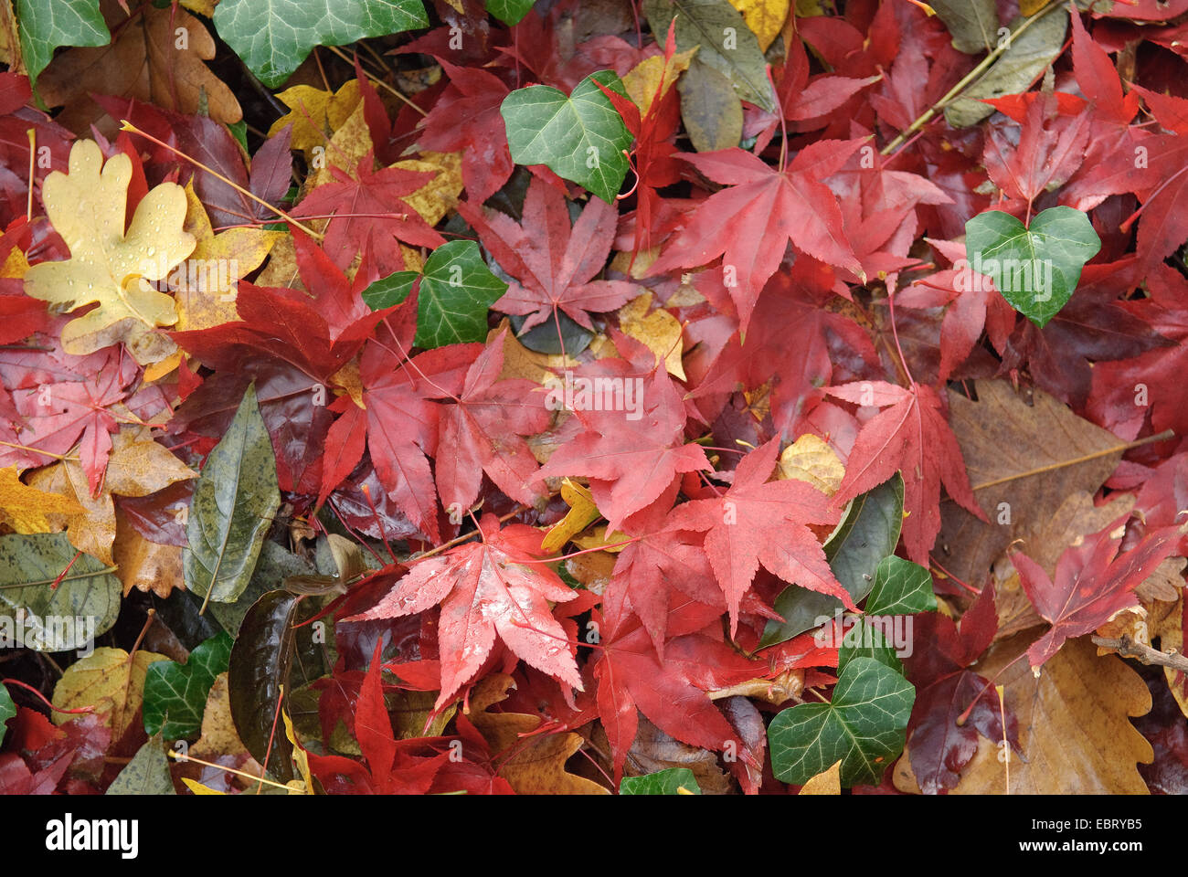 autumn leaves of maple and oak amongst ivy - Stock Image