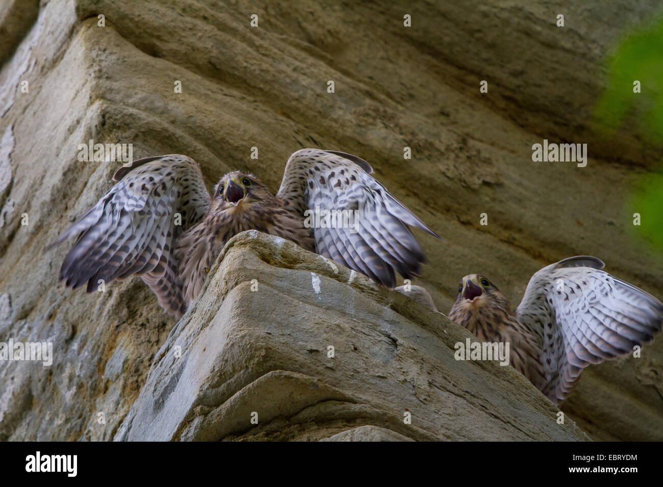 European Kestrel, Eurasian Kestrel, Old World Kestrel, Common Kestrel (Falco tinnunculus), two young kestrels beg - Stock Image