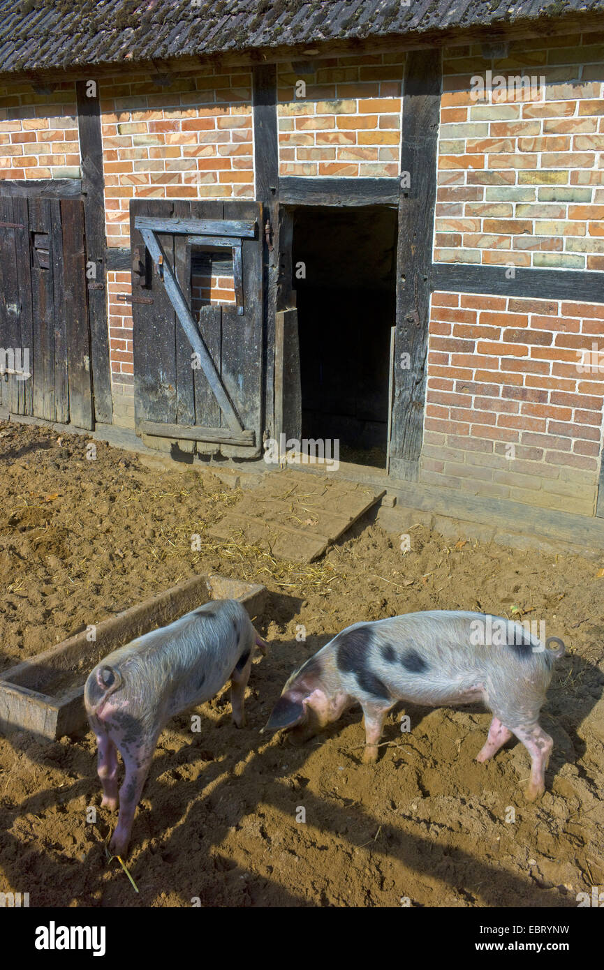 Bentheim Black Pied, Schwarz-Wesses, Bentheimder Schwein, Buntes Bentheimer Schwein (Sus scrofa f. domestica), Bentheim - Stock Image
