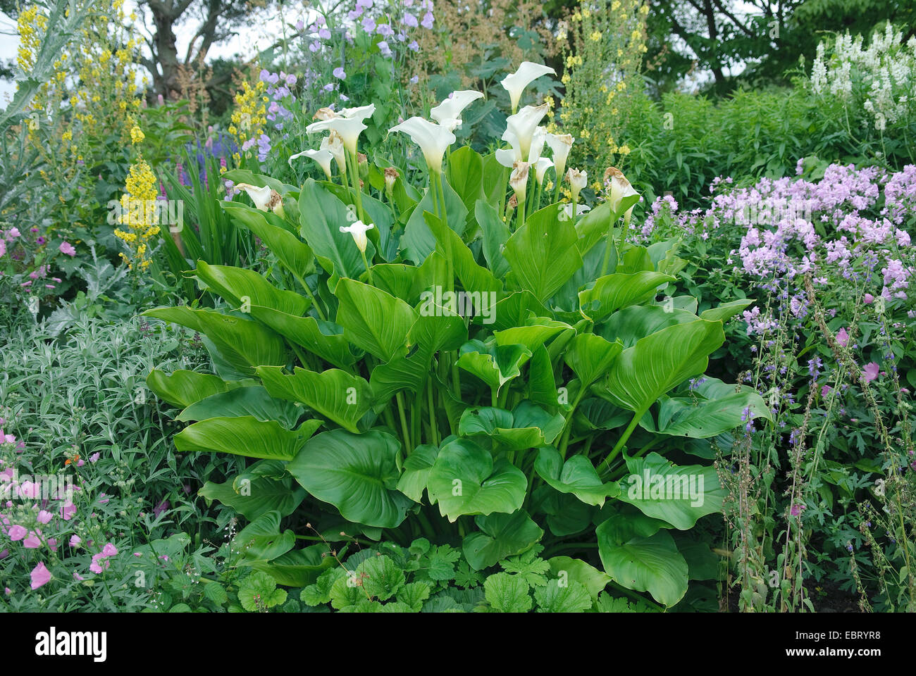 calla lily (Zantedeschia spec.), in a garden - Stock Image