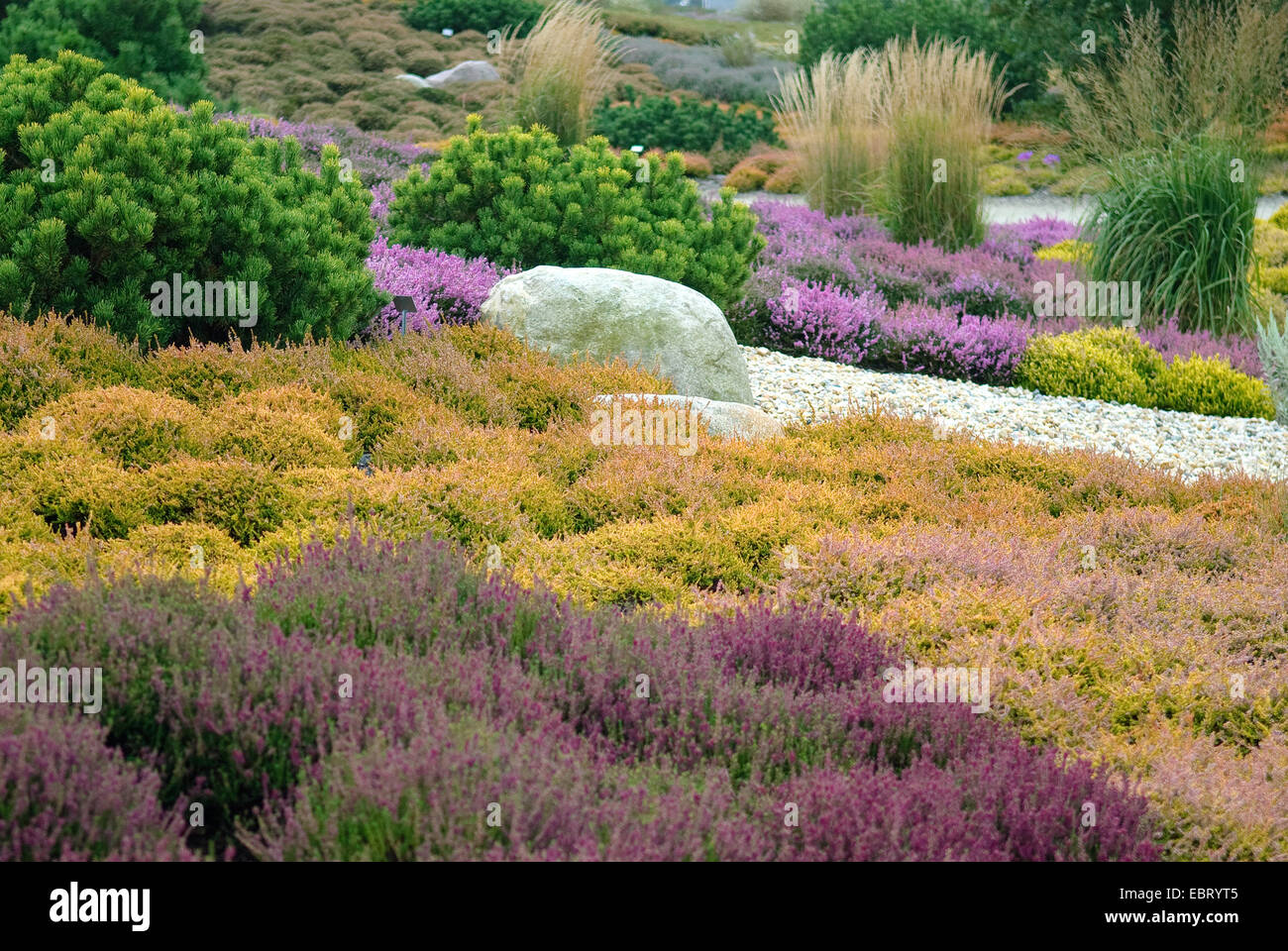 heather, ling (Calluna vulgaris 'Firefly', Calluna vulgaris Firefly), cultivar Firefly together with other - Stock Image