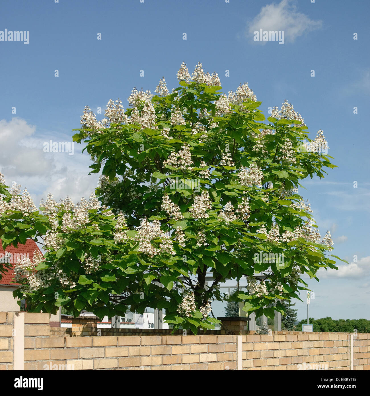 indian bean tree catalpa bignonioides blooming tree. Black Bedroom Furniture Sets. Home Design Ideas