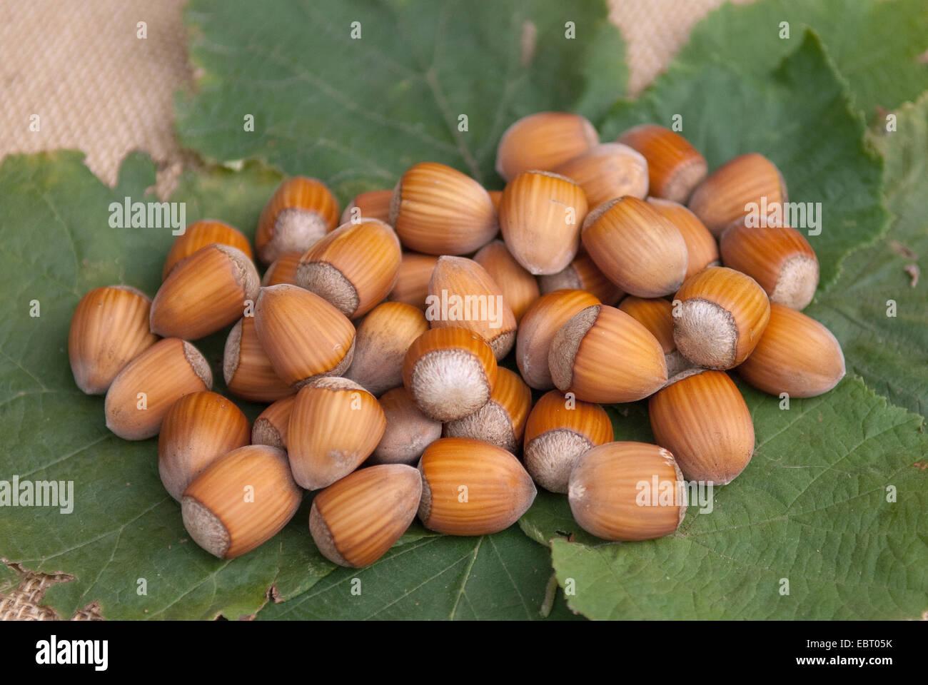 Common hazel (Corylus avellana 'Englische Riesen', Corylus avellana Englische Riesen), hazelnuts of cultivar - Stock Image