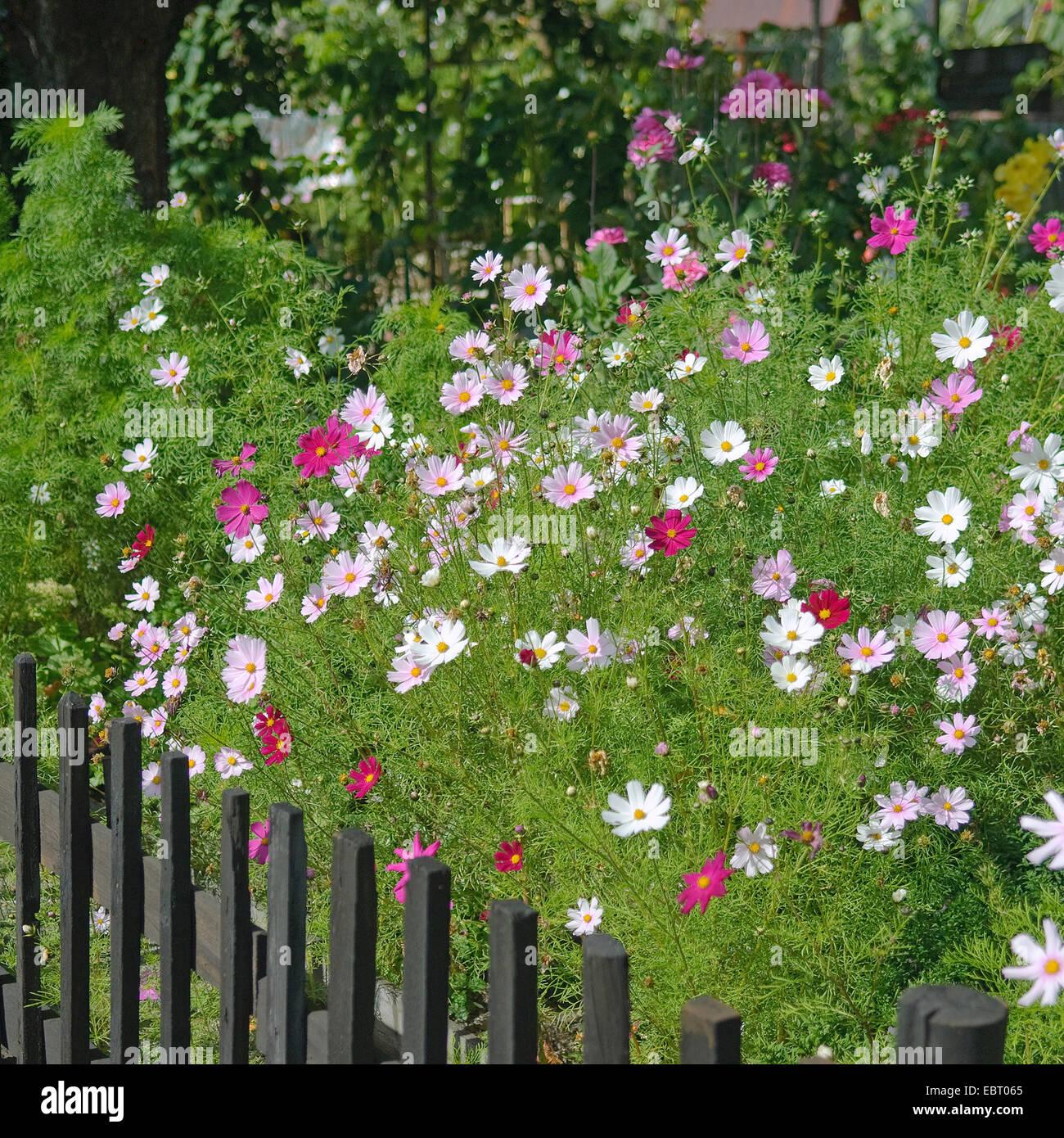 garden cosmos, Mexican aster (Cosmos bipinnatus), blooming in a garden - Stock Image