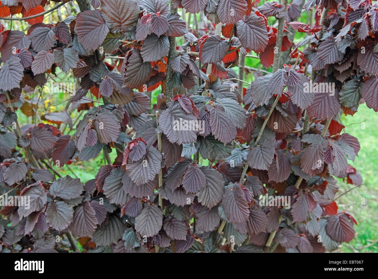 Giant hazel (Corylus maxima 'Purpurea', Corylus maxima Purpurea), cultivar Purpurea Stock Photo