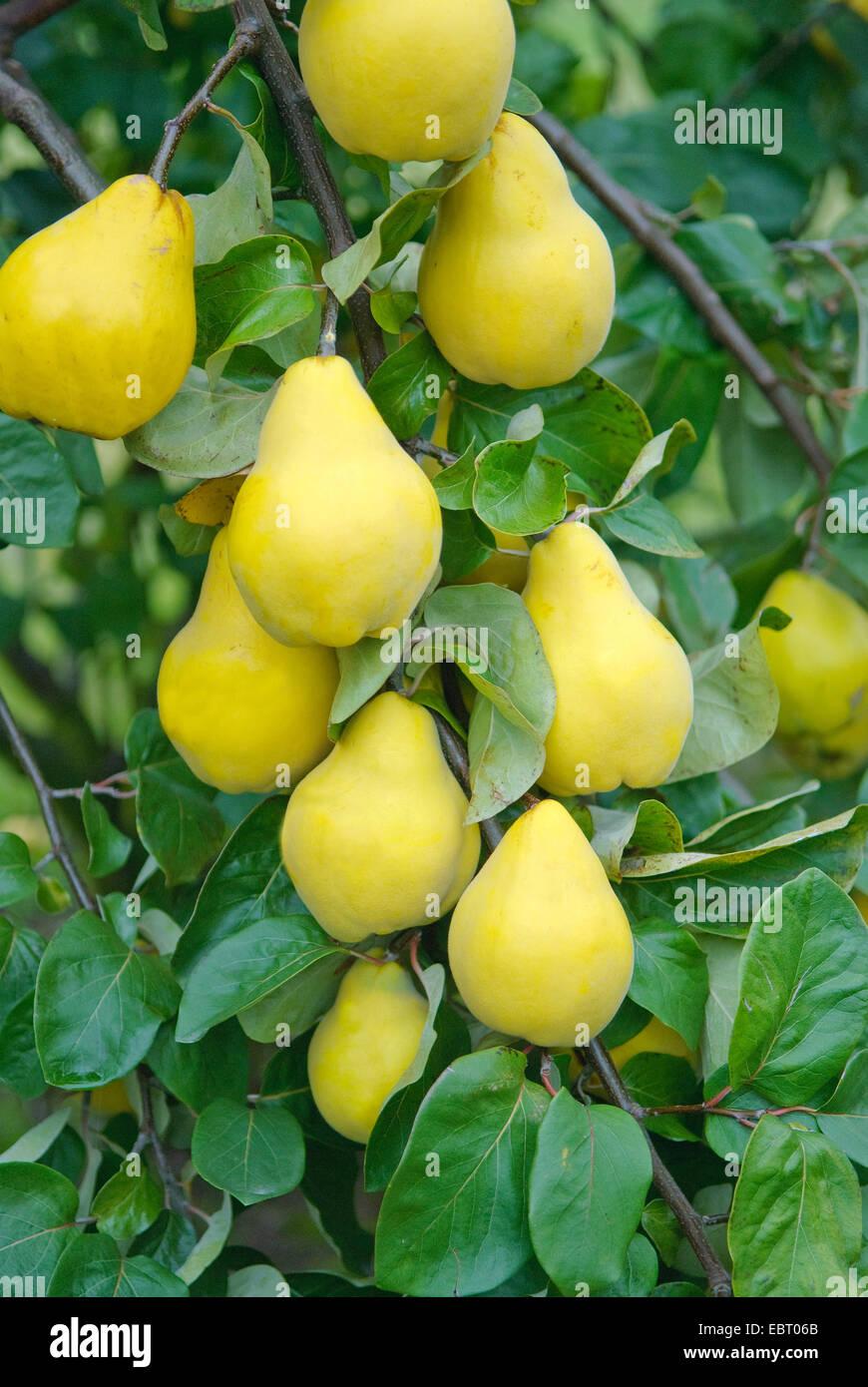 common quince (Cydonia oblonga 'Champion', Cydonia oblonga Champion), quinces of cultivar Champion on a - Stock Image