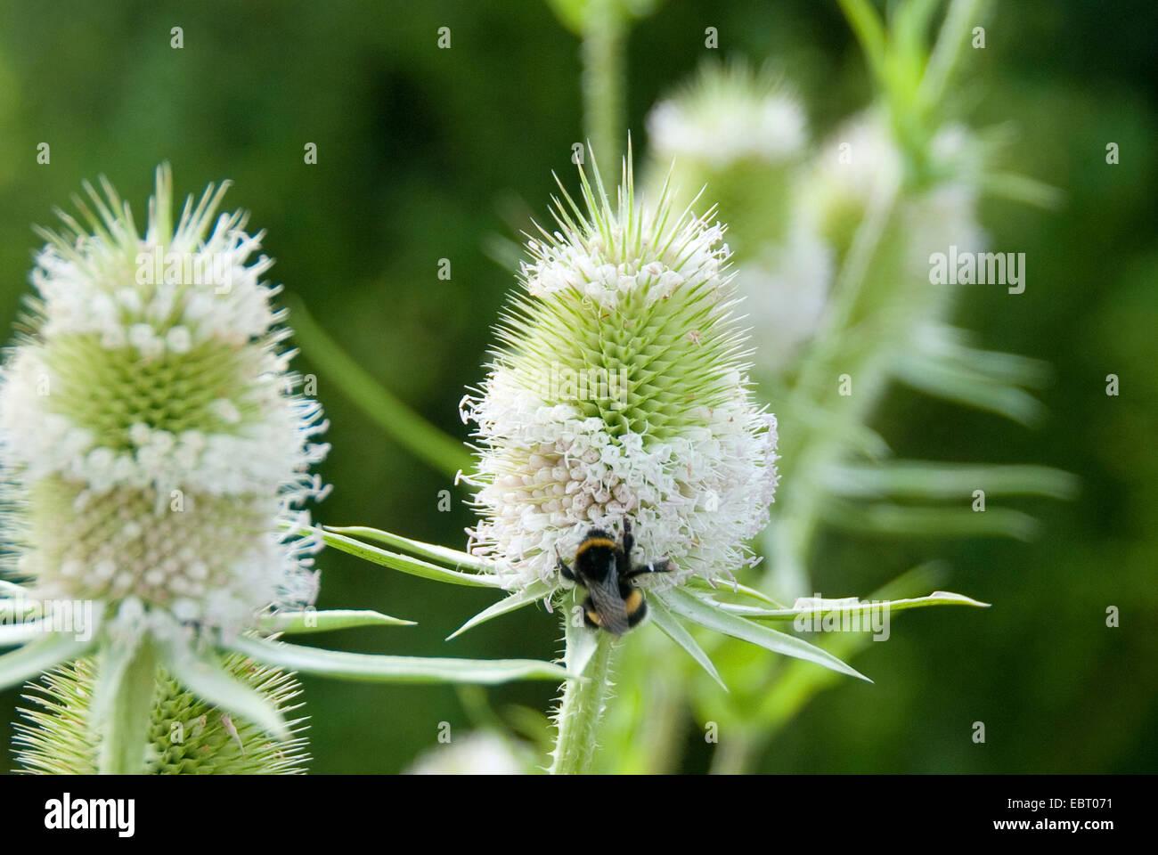 wild teasel, Fuller's teasel, common teasel, common teazle (Dipsacus fullonum, Dipsacus sylvestris), inflorescence - Stock Image