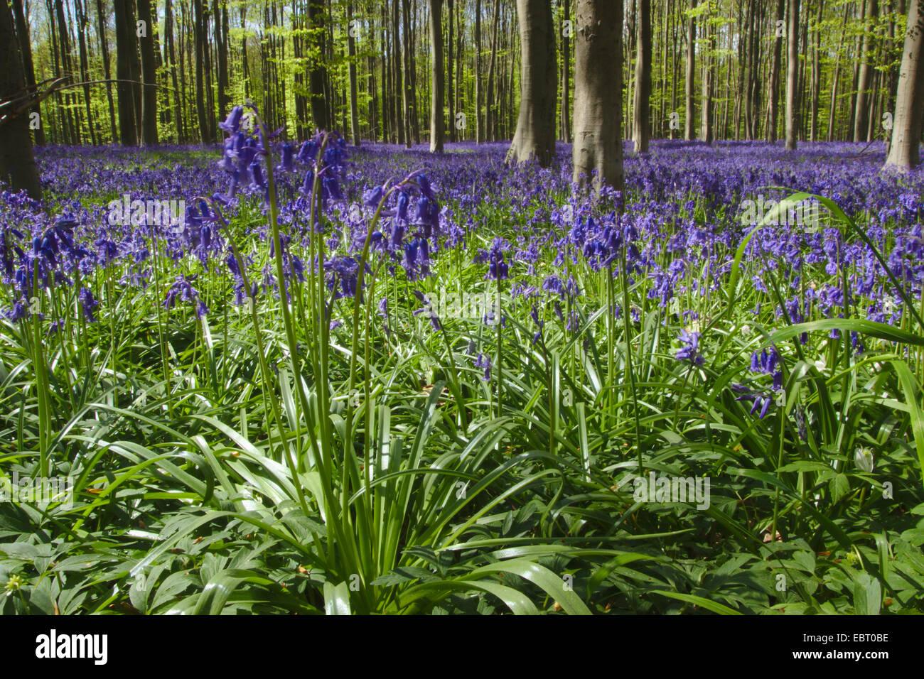 Atlantic bluebell (Hyacinthoides non-scripta, Endymion non-scriptus, Scilla non-scripta), spring forest with flowering - Stock Image