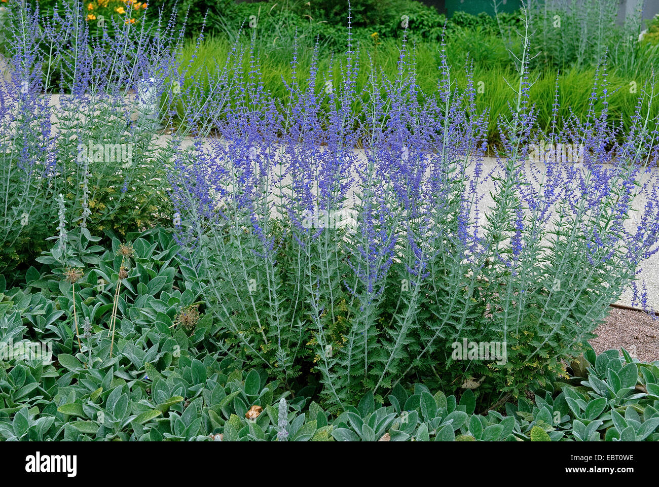 russian sage perovskia abrotanoides 39 little spire. Black Bedroom Furniture Sets. Home Design Ideas