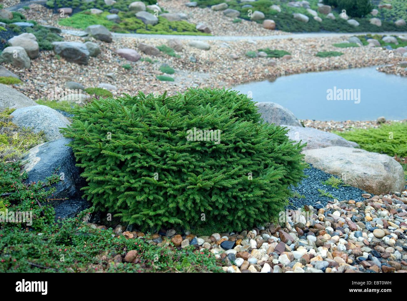 Norway spruce (Picea abies 'Nidiformis', Picea abies Nidiformis), cultivar Nidiformis - Stock Image