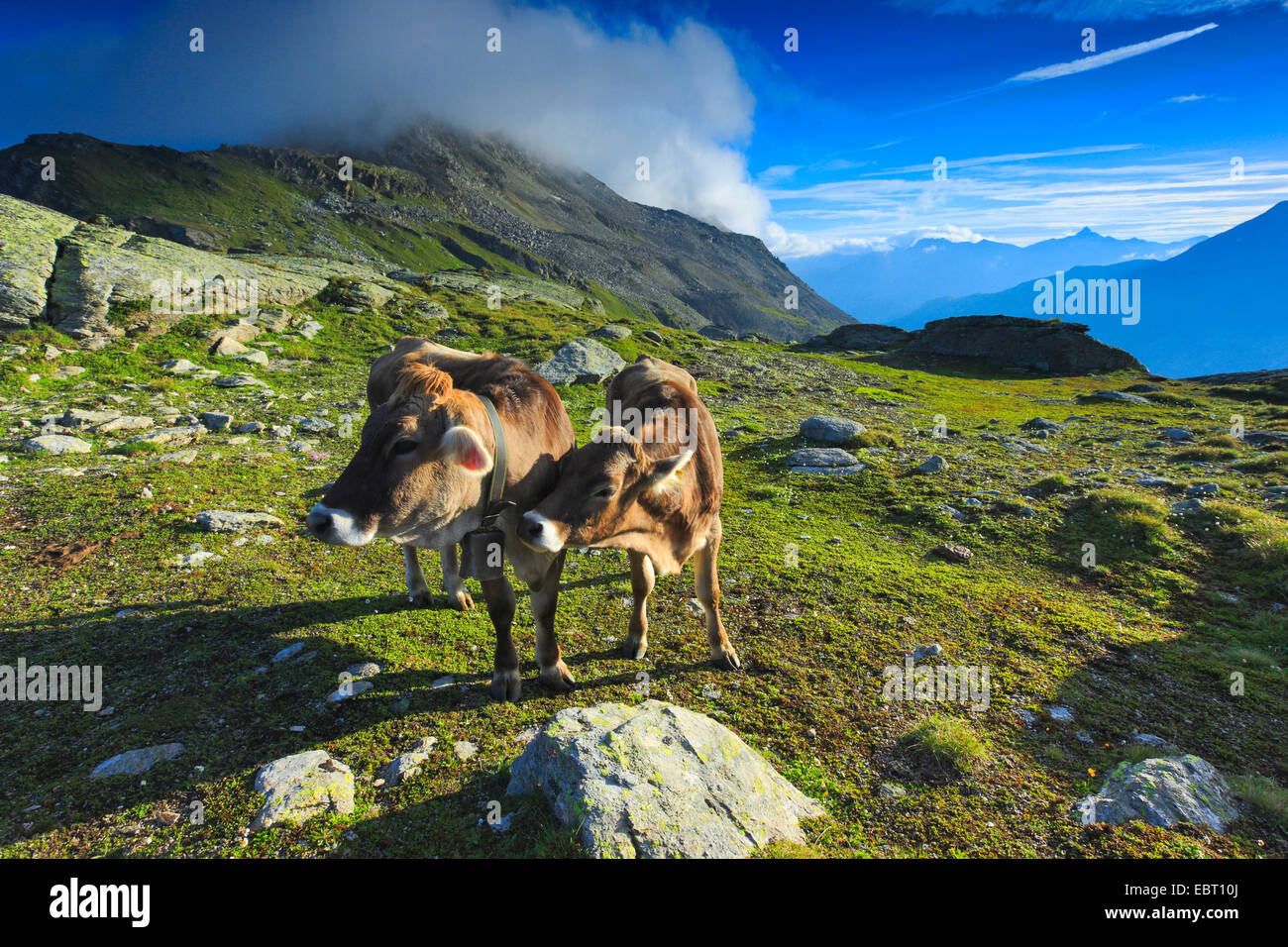 domestic cattle (Bos primigenius f. taurus), cattle at the Fuorcla Surlej, Switzerland, Grisons, Engadine Stock Photo