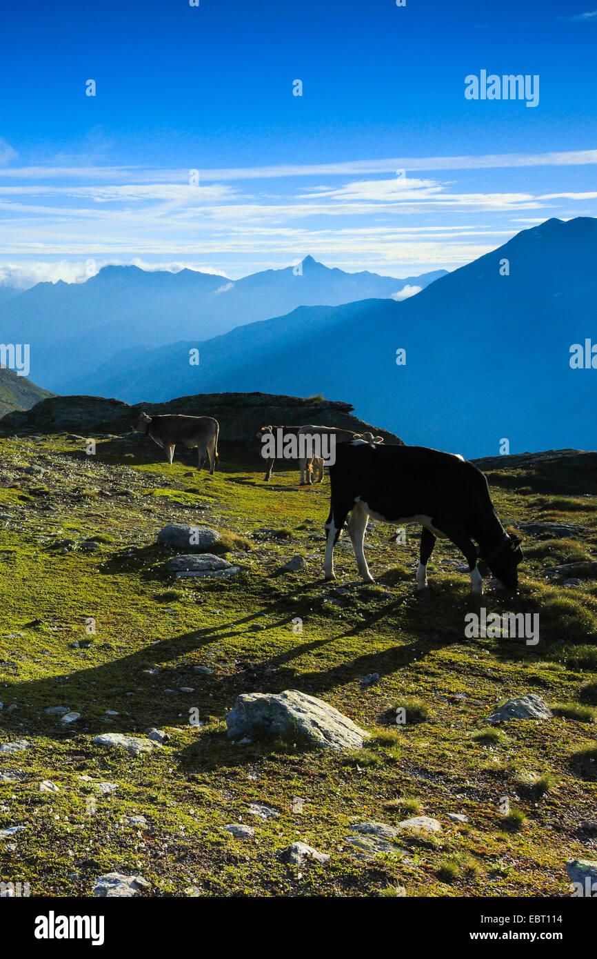 domestic cattle (Bos primigenius f. taurus), cattle at the , Switzerland, Grisons, Engadine, Graubuenden Stock Photo