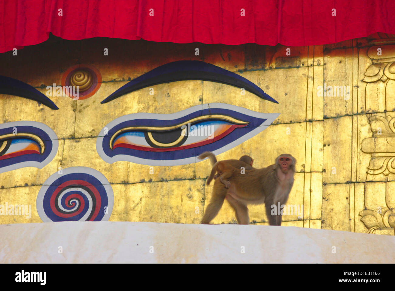 rhesus monkey, rhesus macacque (Macaca mulatta), female with young animal in the Swayambhunath, Monkey Temple, stupa, - Stock Image