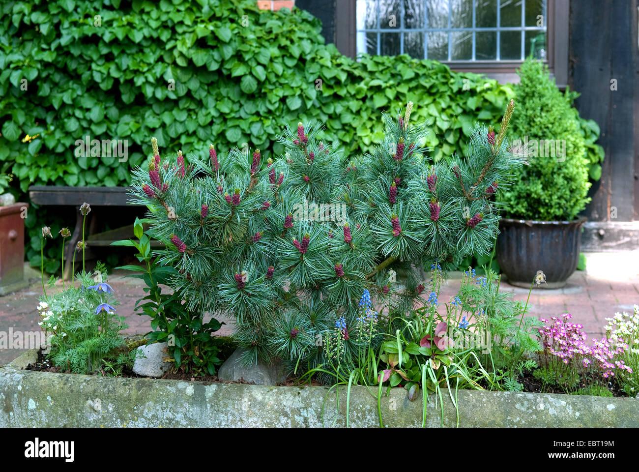 Japanese white pine (Pinus parviflora 'Negishi', Pinus parviflora Negishi), cultivar Negishi - Stock Image