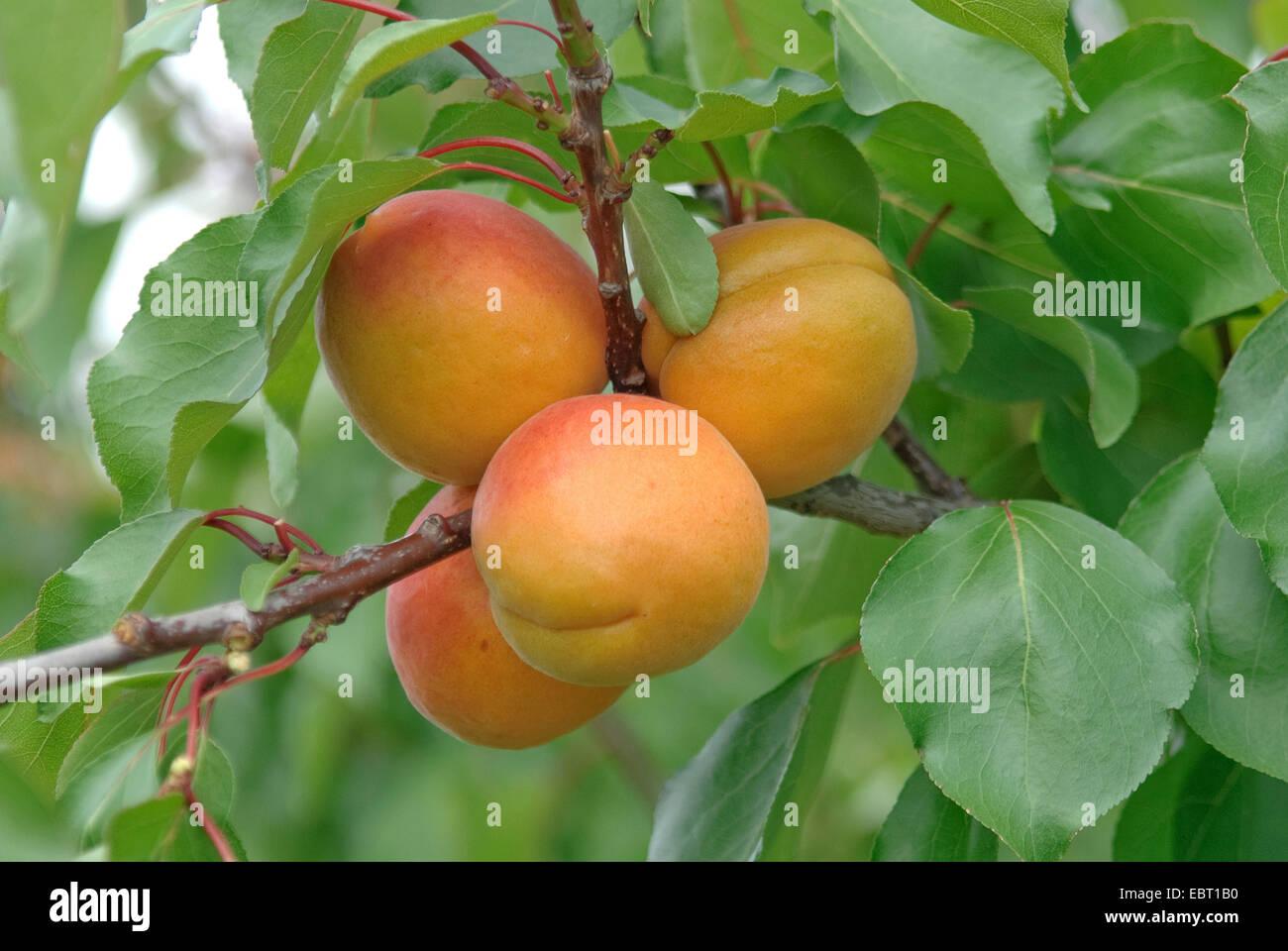 apricot tree (Prunus armeniaca 'Orangered', Prunus armeniaca Orangered), cultivar Orangered, apricots on - Stock Image