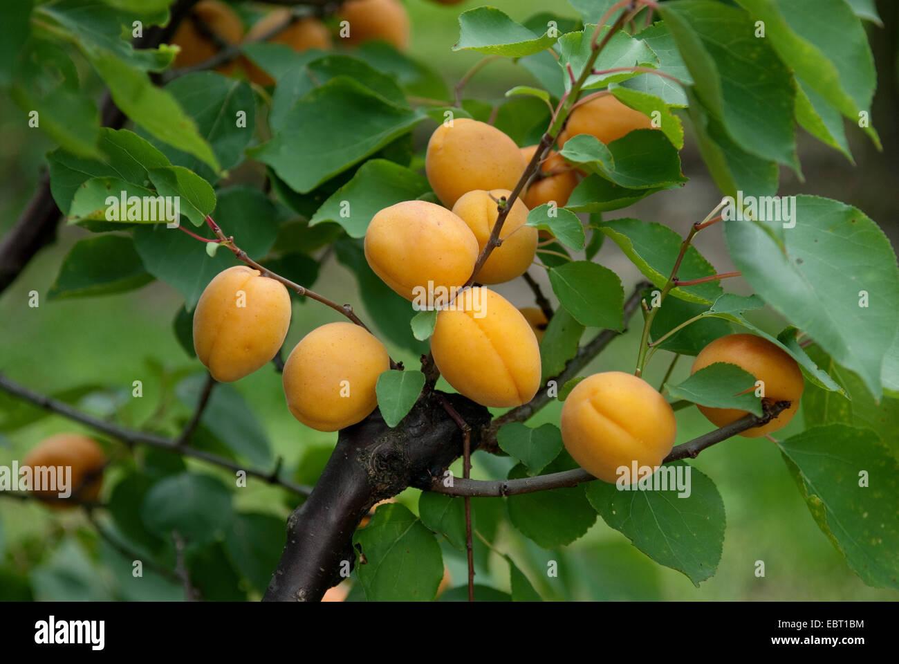 apricot tree (Prunus armeniaca 'Goldrich', Prunus armeniaca Goldrich), cultivar Goldrich, apricots on a - Stock Image