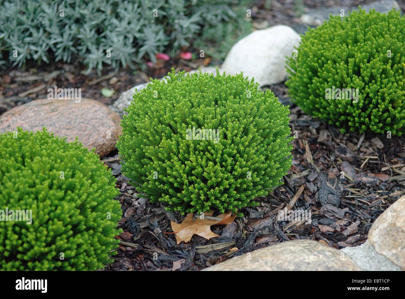 hebe, speedwell (Hebe 'Emerald Gem', Hebe Emerald Gem), cultivar Emerald Gem - Stock Image