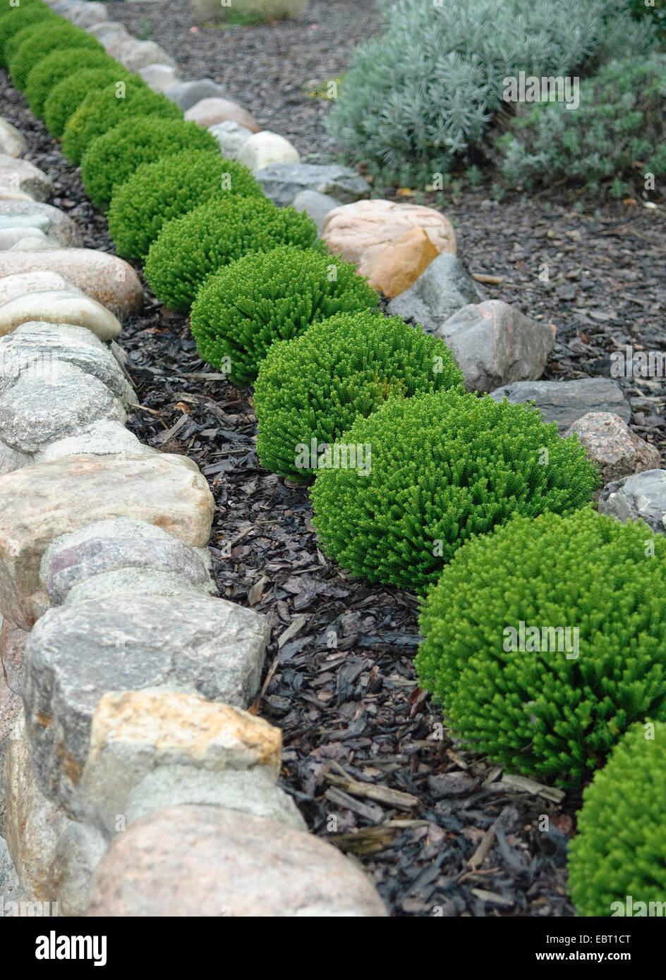 hebe, speedwell (Hebe 'Emerald Gem', Hebe Emerald Gem), cultivar Emerald Gem in a row - Stock Image