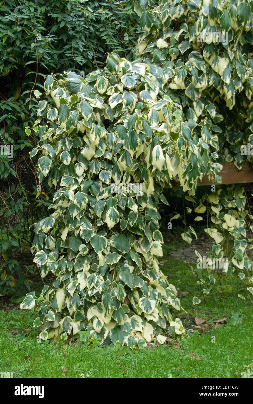 Persian Ivy, Colchis Ivy (Hedera colchica 'Dentata Variegata', Hedera colchica Dentata Variegata), cultivar Dentata Variegata Stock Photo
