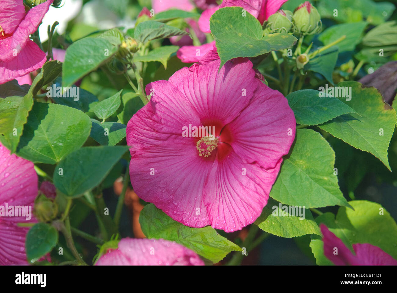 Swamp Rose Mallow Rose Mallow Hibiscus Moscheutos Luna Blush