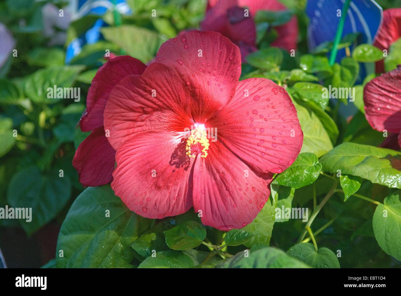 Swamp Rose Mallow Rose Mallow Hibiscus Moscheutos Luna Red Stock
