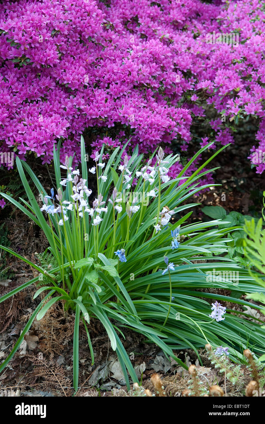 Spanish Bluebell (Hyacinthoides hispanica), blooming in front of Rhododendron obtusum - Stock Image