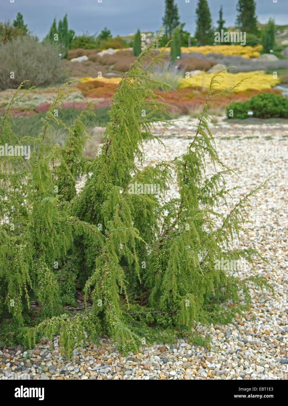 juniper (Juniperus communis 'Wilsede', Juniperus communis Wilsede), cultivar Wilsede - Stock Image