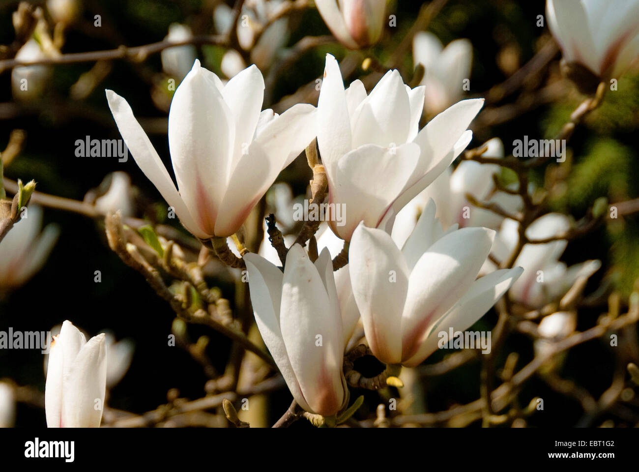Huangshan Magnolia Magnolia Cylindrica Flowers Stock Photo