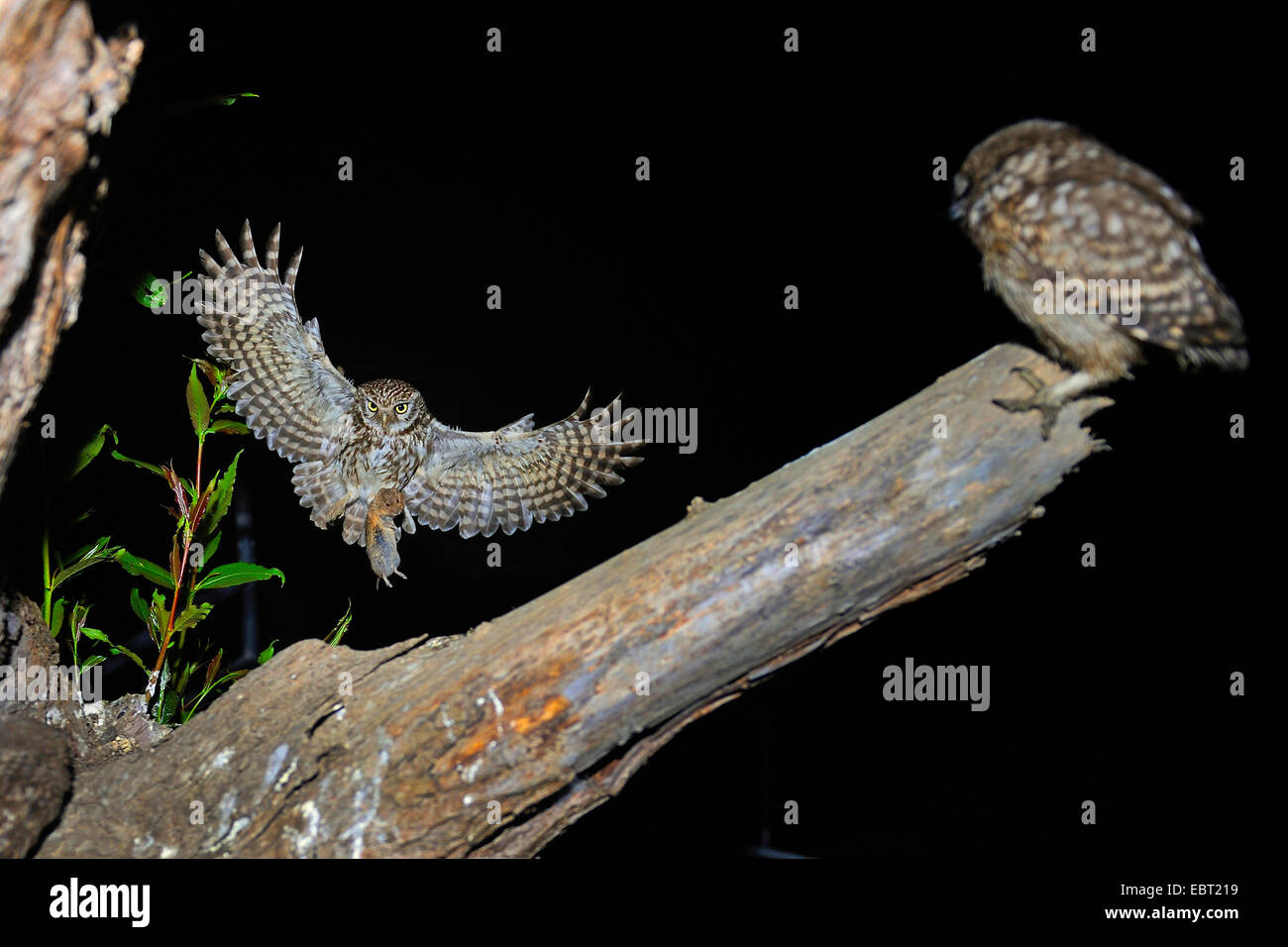 little owl (Athene noctua), approaching a branch with a squeeker with mouse in a claw, Germany, North Rhine-Westphalia, Stock Photo