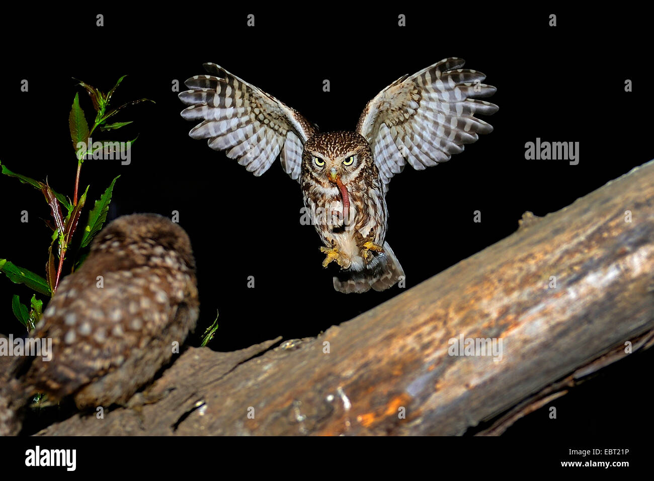 little owl (Athene noctua), approaching a branch with a squeeker with worm in a claw, Germany, North Rhine-Westphalia, Stock Photo
