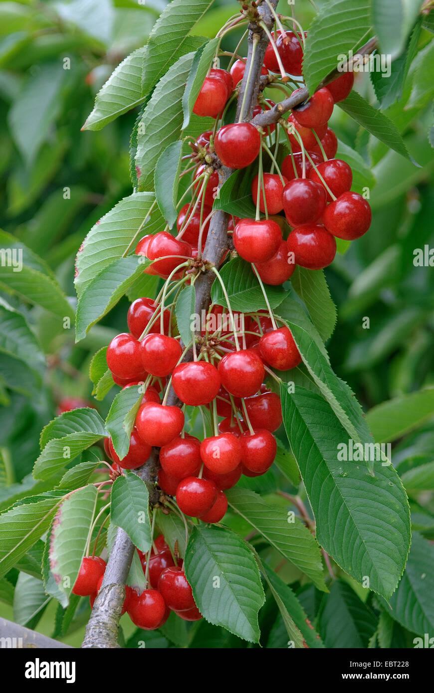 Cherry tree, Sweet cherry (Prunus avium 'Sue', Prunus avium Sue), cultivar Sue, cherries on a tree - Stock Image