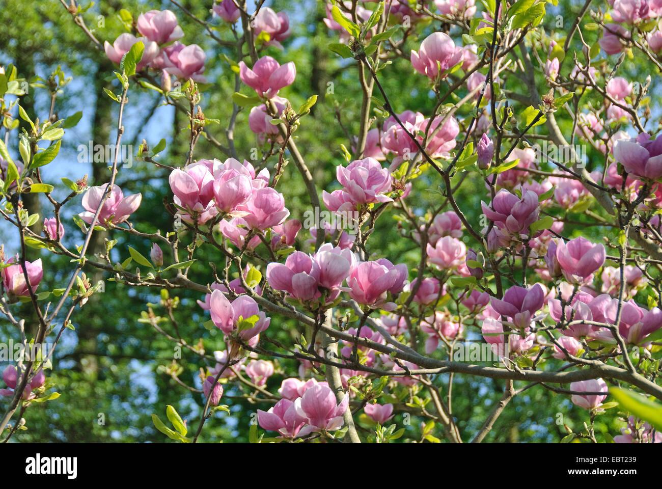 Saucer Magnolia Magnolia Soulangeana Lennei Magnolia Soulangeana