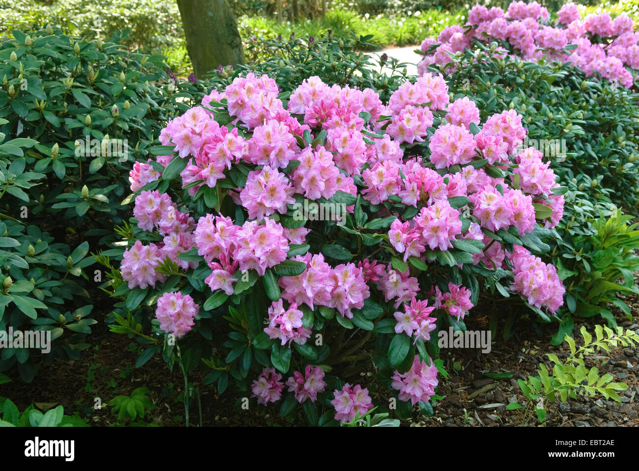 rhododendron (Rhododendron 'Scintillation', Rhododendron Scintillation), cultivar Scintillation - Stock Image