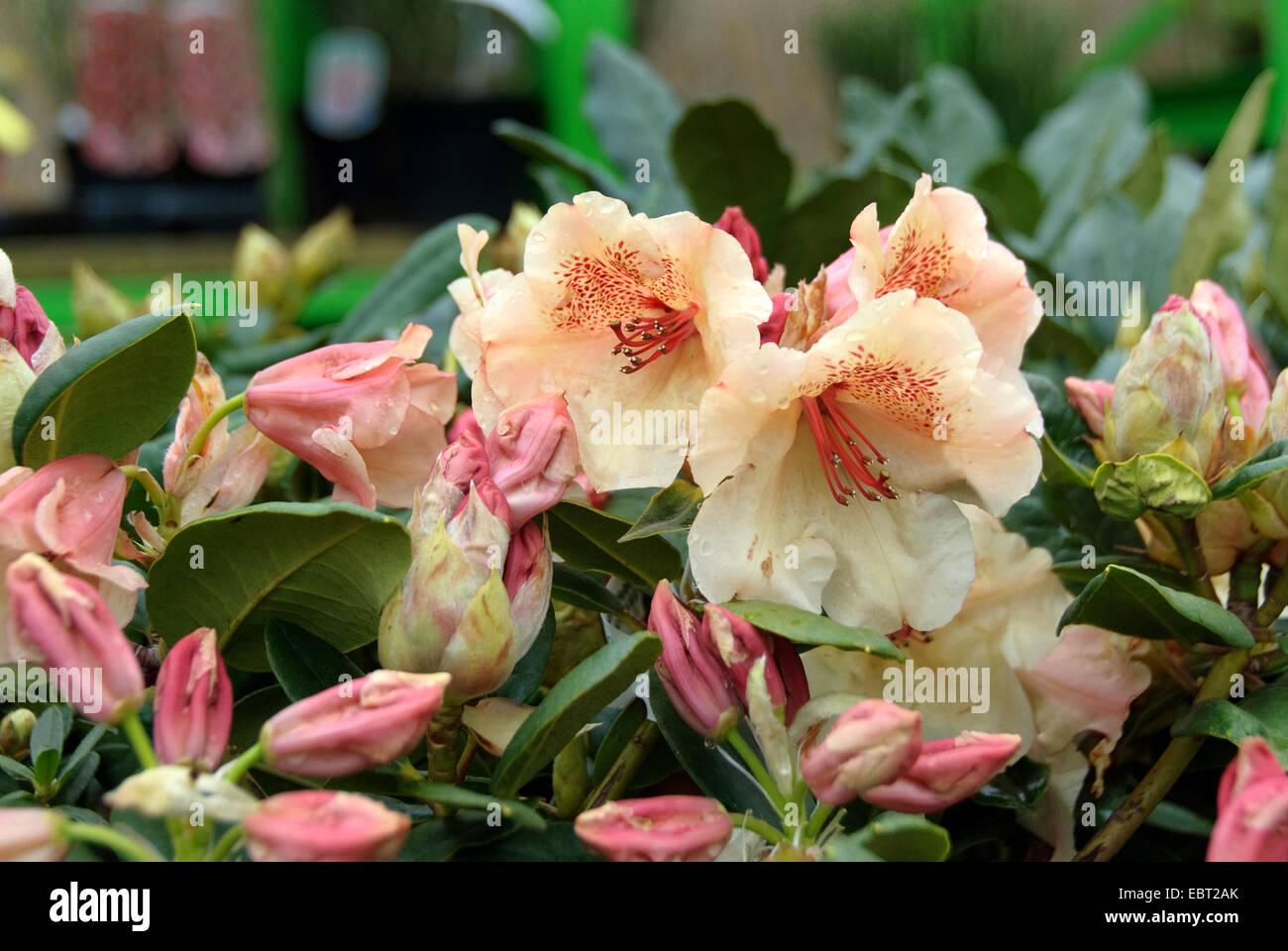 rhododendron (Rhododendron 'Viscy', Rhododendron Viscy), cultivar Viscy - Stock Image