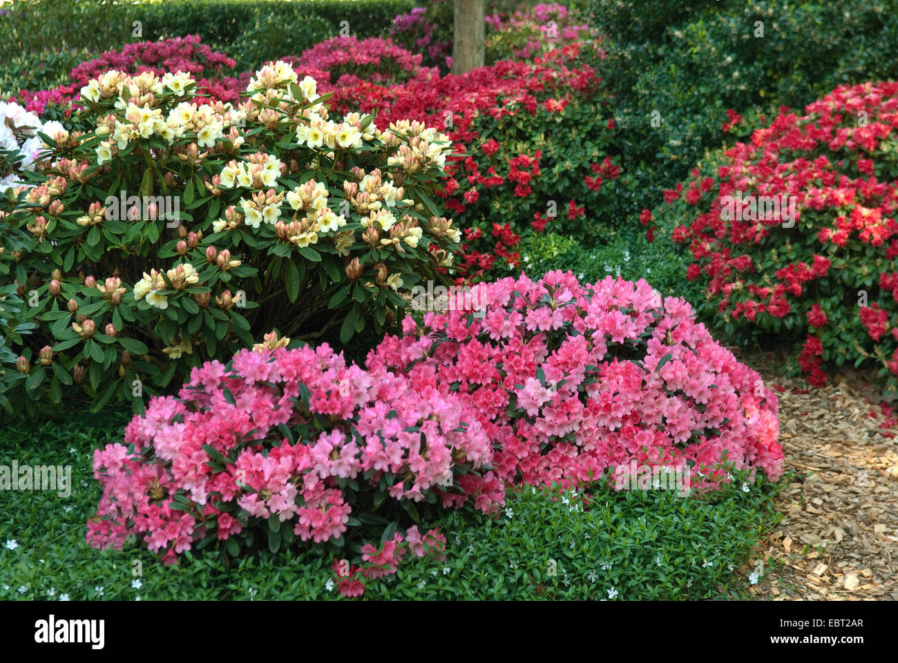 rhododendron (Rhododendron spec.), different rhododendron cultivars in a park - Stock Image