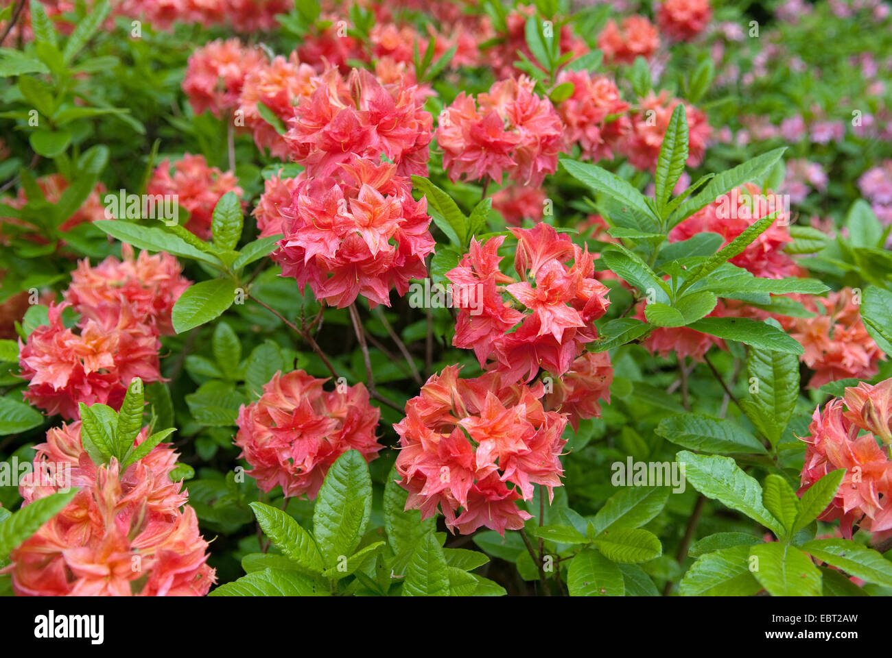rhododendron (Rhododendron luteum 'Apelles', Rhododendron luteum Apelles), cultivar Apelles - Stock Image