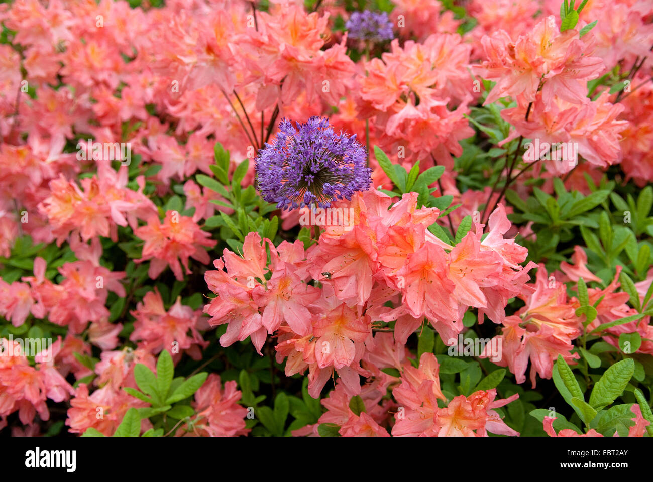 rhododendron (Rhododendron luteum 'Dante Gabriel Rosetti', Rhododendron luteum Dante Gabriel Rosetti), cultivar - Stock Image
