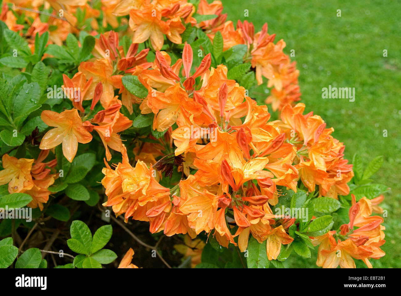 rhododendron (Rhododendron luteum 'Hortulanus H. Witte', Rhododendron luteum Hortulanus H. Witte), cultivar - Stock Image