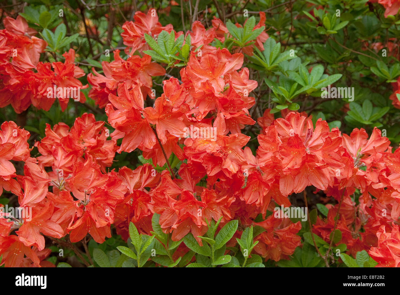 rhododendron (Rhododendron luteum 'Joseph Dietzgen', Rhododendron luteum Joseph Dietzgen), cultivar Joseph - Stock Image