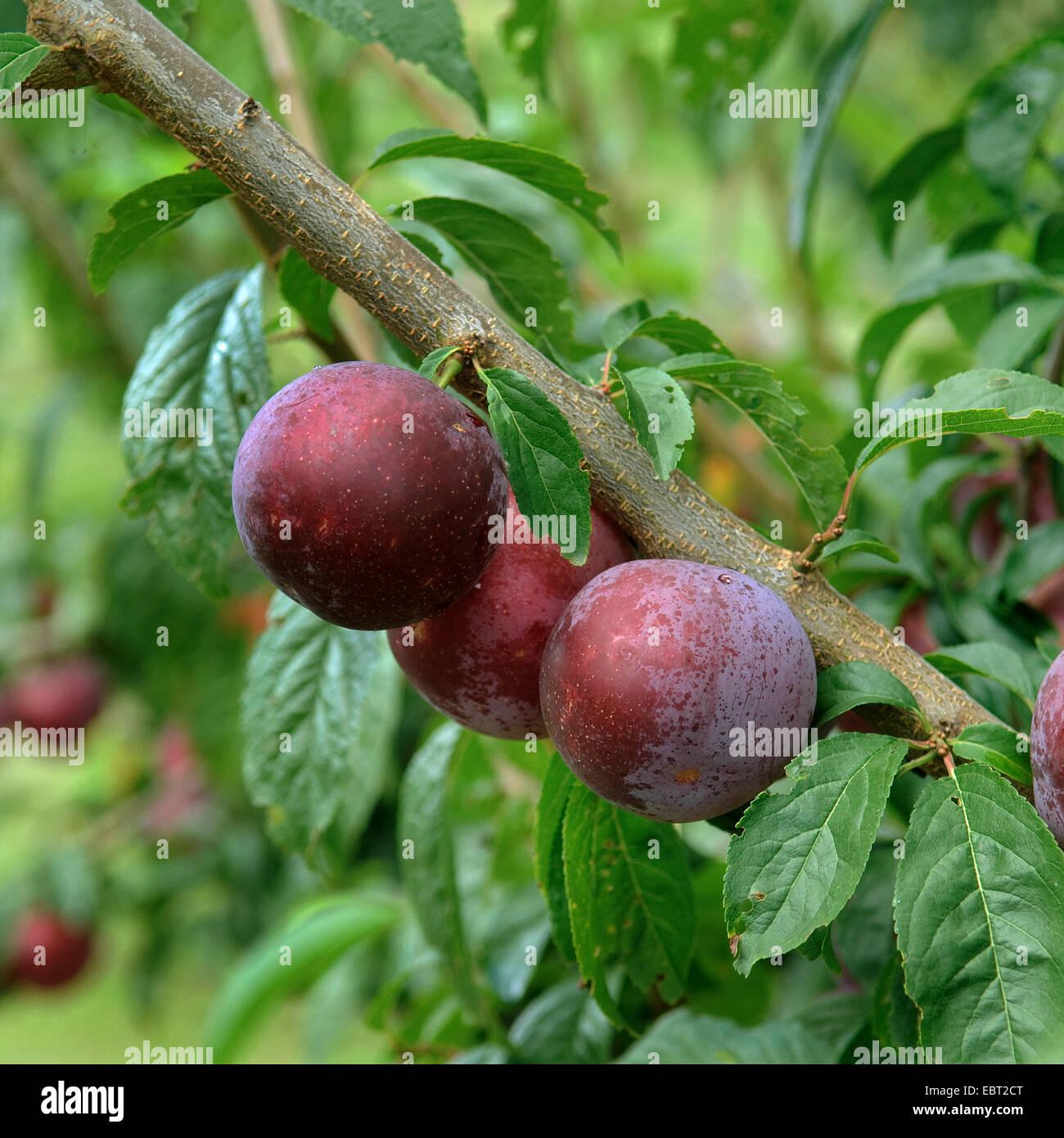 European plum (Prunus domestica 'Anatolia', Prunus domestica Anatolia), plums on a tree, cultivar Anatolia - Stock Image