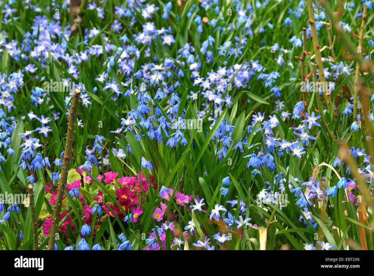 Siberian scilla, Siberian squill (Scilla siberica (falsch: Scilla sibirica)), in a flowerbed with Chionodoxa luciliae - Stock Image