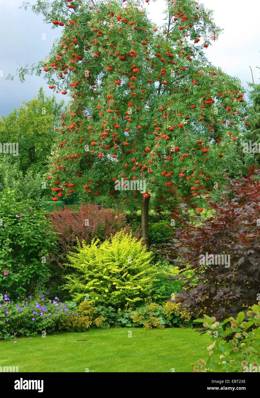 European mountain-ash, rowan tree (Sorbus aucuparia 'Rosina', Sorbus aucuparia Rosina), cultivar Rosina - Stock Image