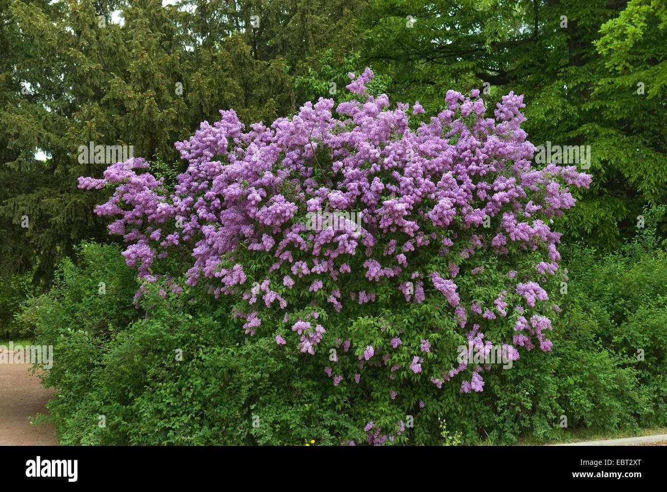 Chinese lilac (Syringa chinensis), blooming - Stock Image