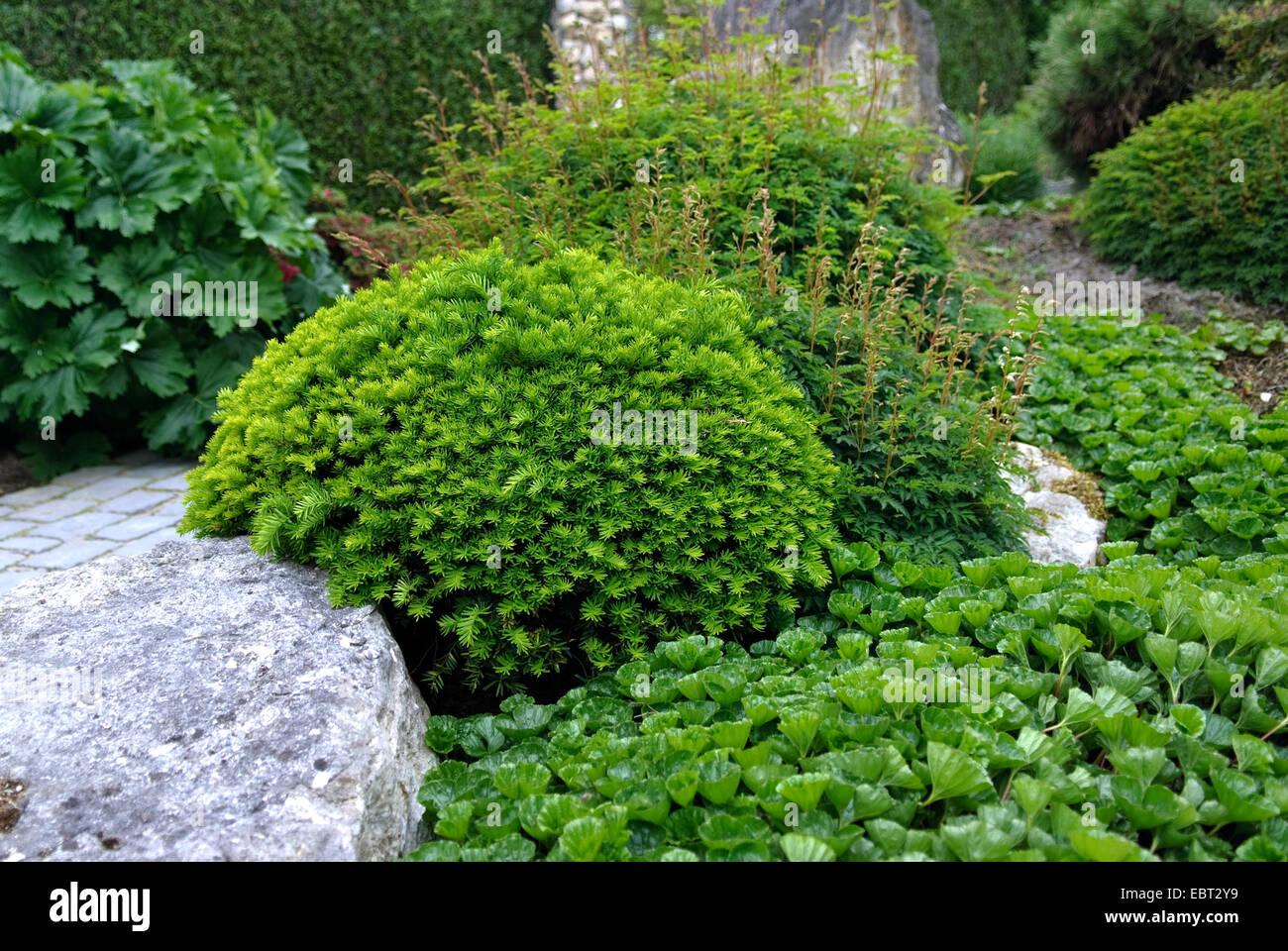 Japanese yew, pyramidal yew (Taxus cuspidata 'Nana', Taxus cuspidata Nana), vultivar Nana - Stock Image