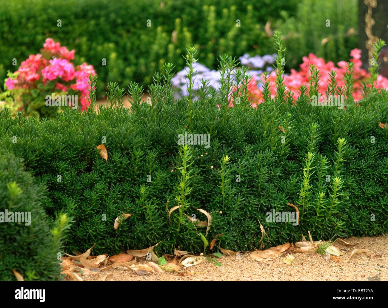 Japanese yew, pyramidal yew (Taxus cuspidata), as hedge - Stock Image